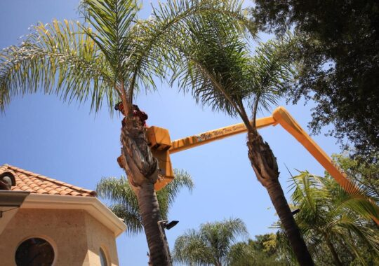 Palm Tree Trimming-Coral Gables FL Tree Trimming and Stump Grinding Services-We Offer Tree Trimming Services, Tree Removal, Tree Pruning, Tree Cutting, Residential and Commercial Tree Trimming Services, Storm Damage, Emergency Tree Removal, Land Clearing, Tree Companies, Tree Care Service, Stump Grinding, and we're the Best Tree Trimming Company Near You Guaranteed!