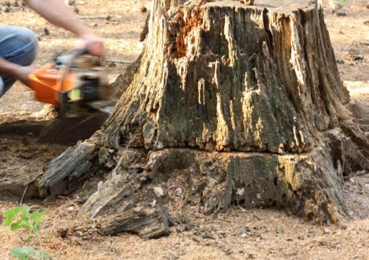 Stump Removal-Coral Gables FL Tree Trimming and Stump Grinding Services-We Offer Tree Trimming Services, Tree Removal, Tree Pruning, Tree Cutting, Residential and Commercial Tree Trimming Services, Storm Damage, Emergency Tree Removal, Land Clearing, Tree Companies, Tree Care Service, Stump Grinding, and we're the Best Tree Trimming Company Near You Guaranteed!
